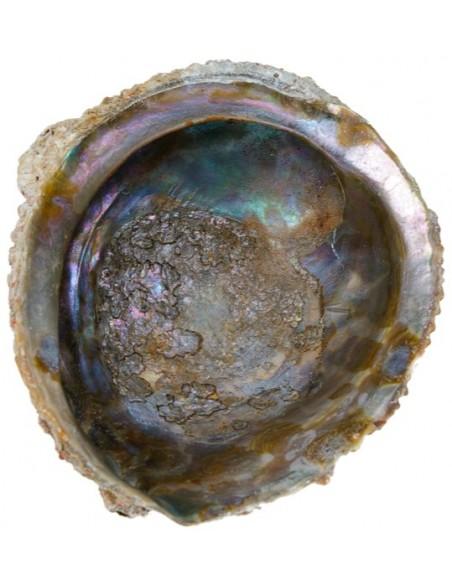 Abalone corrugata naturelle